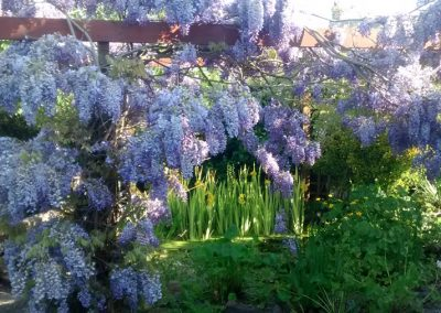 Wisteria over Pond - Rustington