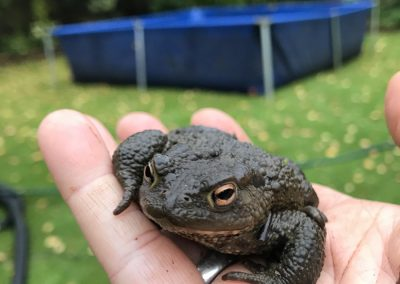 Toad found in Goring pond clean